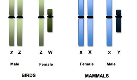 Sex chromosomes in birds and mammals.