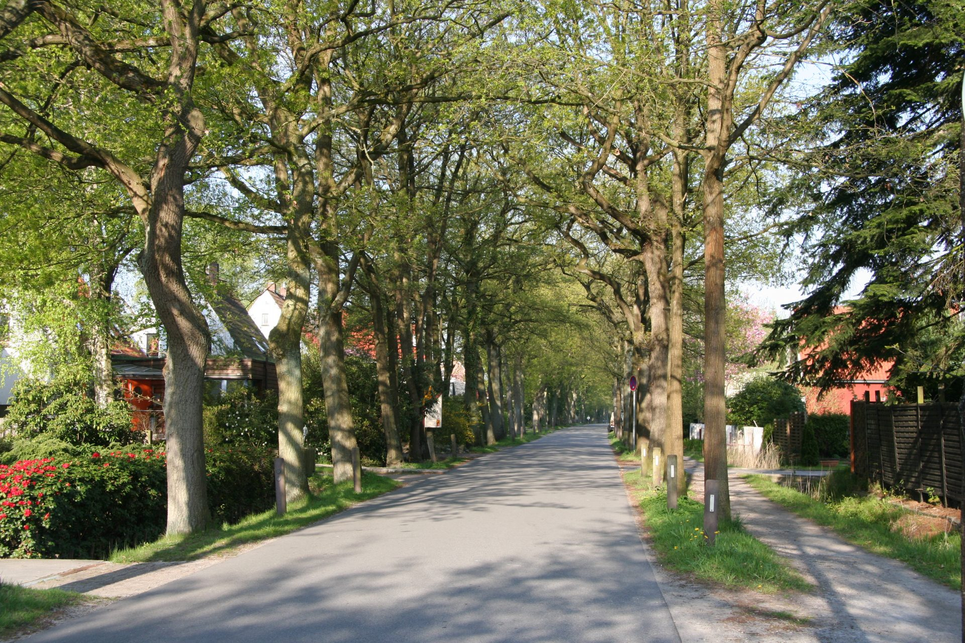 Sessile oak trees (Quercus petraea) along the Drögen-Hasen-Weg Eichenallee, Oldenburg, Germany. Here they are just beginning to show their new green spring leaves, May 2013. Photo by Heidi Meudt.