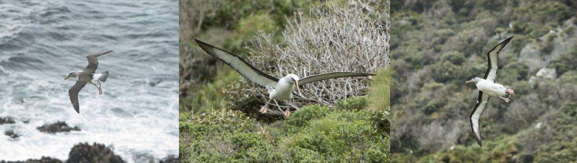 Albatross in flight. Photo credit: Michael Hall © Museum of New Zealand Te Papa Tongarewa
