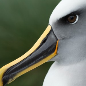 Close up Buller's albatross, or mollymawk. Photo credit: Michael Hall © Museum of New Zealand Te Papa Tongarewa