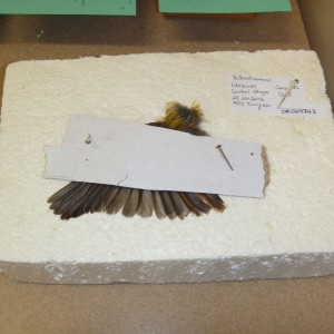 A wing being prepared by Catherine for incorporation into the collection.