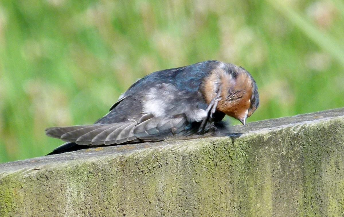 Ever seen a welcome swallow stretching? Mangere sewage ponds, Auckland, 2012-1. Image © Joke Baars. From the NZ Birds Online website.