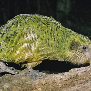 Kakapo. Adult male (Sirocco). Maud Island, 2007. Image © Dylan van Winkel by Dylan van Winkel