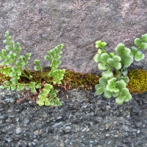 Two forms of wall rue (Asplenium ruta-muraria). The plant on the right reminds me of New Zealand blanket fern. Photo credit: Lara Shepherd