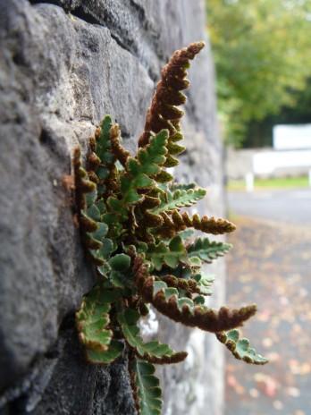 Rustyback (Asplenium ceterach) growing on a stone wall.