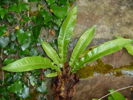 Hart's tongue fern (Asplenium scolopendrium). Photo credit: Lara Shepherd.