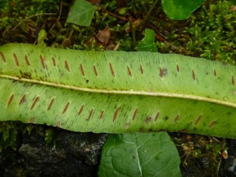 The sori of Asplenium scolopendrium, said to look like centipede legs. Photo credit: Lara Shepherd