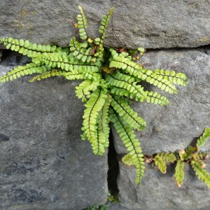 Maidenhair spleenwort (Asplenium trichomanes). Photo credit: Lara Shepherd.