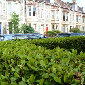 A broadleaf (Griselinia littoralis) hedge by a row of terrace houses, Bristol, UK. Photo credit: Lara Shepherd.