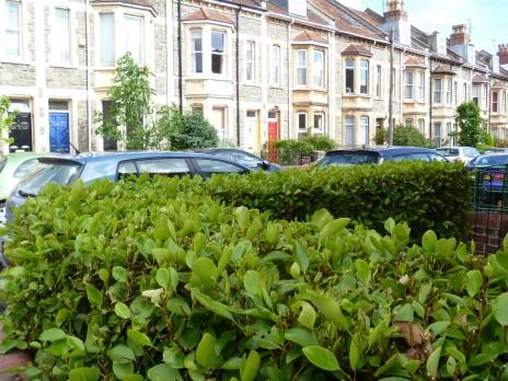 A broadleaf (Griselinia littoralis) hedge by a row of terrace houses, Bristol, UK. Photo credit: Lara Shepherd.