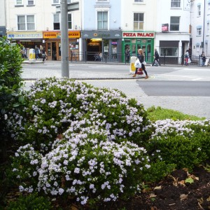 White flowered hebe in a town planting in the Bristol town centre. Photo credit: Lara Shepherd.