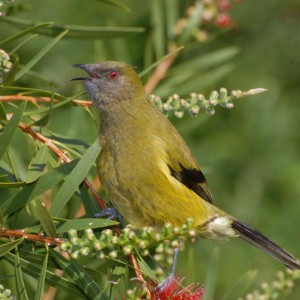 Male bellbird Peter Reese