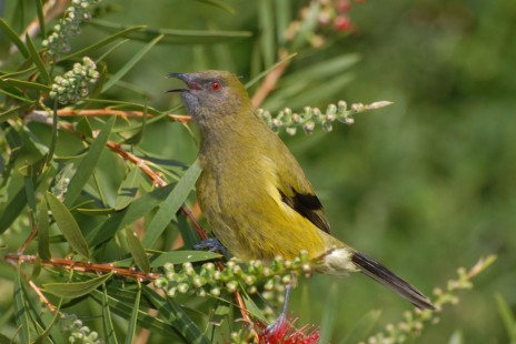 Bellbird. Male singing on bottlebrush. Riversdale Wairarapa, 2007-10. Image © Peter Reese by Peter Reese
