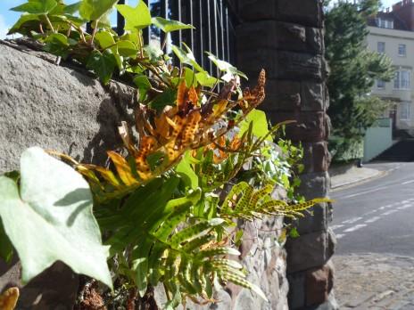 Common polypody (Polypodium vulgare). Photo credit: Lara Shepherd.