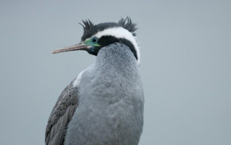 Spotted shag. Close-up of adult. Kaikoura, 2011-8. Image © Philip Griffin by Philip Griffin