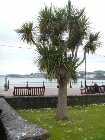 Torquay palm (cabbage tree; Cordyline australis) planted along the Torquay waterfront. Photo credit: Lara Shepherd.