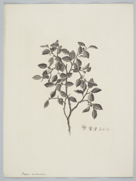 (G. Forster) Oersted. Parkinson, Sydney. Purchased 1895. Te Papa. Depicts a beech species from the southern tip of South America.