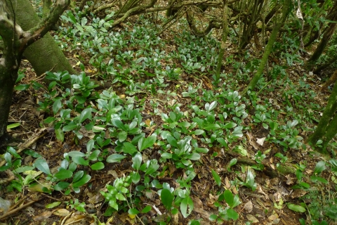 An abundance of karaka seedlings, under an adult that has established in regenerating native forest. Naenae, Wellington. Photo Leon Perrie. © Leon Perrie.