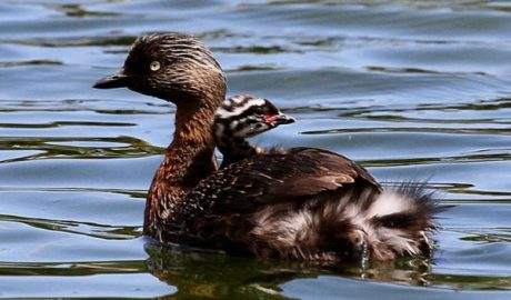 A New Zealand dabchick chick gets a ride on its parent's back. Image: Ormond Torr, New Zealand Birds Online
