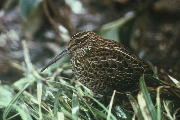 A South Island snipe photographed on Big South Cape Island in 1964, the year of its extinction. Image: Don Merton (DOC), New Zealand Birds Online