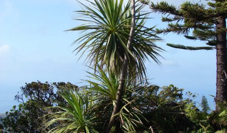 Cordyline australis on the Munro Trail, Lanai Island, Hawaii. Photo by Forest and Kim Starr (http://www.starrenvironmental.com/)