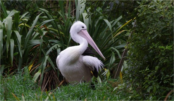 Lanky the Australian pelican at Wellington Zoo. Image: Colin Miskelly
