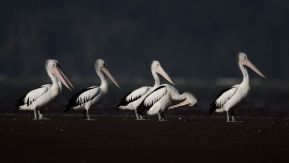 Six Australian pelicans at Tapora, Kaipara Harbour, 26 April 2013. Image: Ian Southey