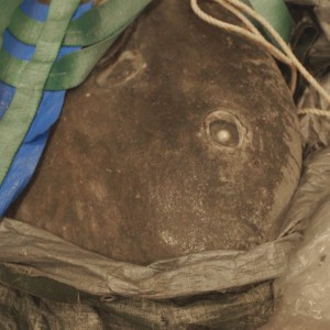 Close-up of the sunfish's mouth (beak covered by tarpaulin). Photographer: Michael Hall © Te Papa