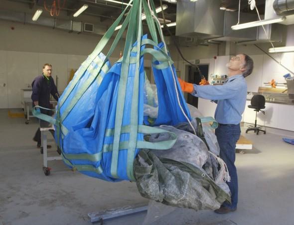 Te Papa scientists lifting the heavy sunfish. Photographer: Michael Hall © Te Papa