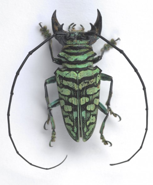 The Longhorn Beetle used for Jess' inspiration. Photographer: Te Papa, © Te Papa