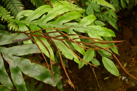 Colenso's hard fern, Blechnum colensoi, with a fertile frond at centre. That it is brown rather than black indicates that the spores have largely been shed. Photo: Leon Perrie. © Te Papa.