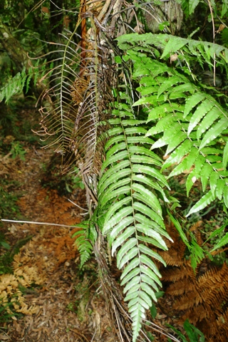 Thread fern, Blechnum filiforme, with fertile fronds top left. This species climbs from the ground up tree trunks, and usually only produces fertile fronds above about 2 m. Photo © Leon Perrie.