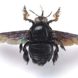 The Bumblebee that Rosie used for inspiration. Photographer: Te Papa, © Te Papa