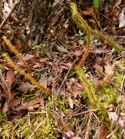 The erect, c. 15 cm, leafy stems of Huperzia australiana. Photo © Leon Perrie.