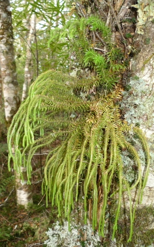 Huperzia varia usually grows pendulously from trees or rocks. Photo © Leon Perrie.