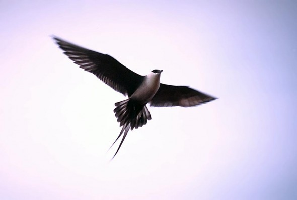 Long-tailed skua. Photo by  Tim Bowman, U.S. Fish and Wildlife Service.
