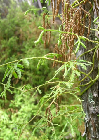 Lycopodium volubile often scrambles up through other vegetation. Its leaves that produce spore capsules are modified and aggregated into 'cones'. In this species, the cones are pendulous, but other lycophytes have erect cones. Photo © Leon Perrie.