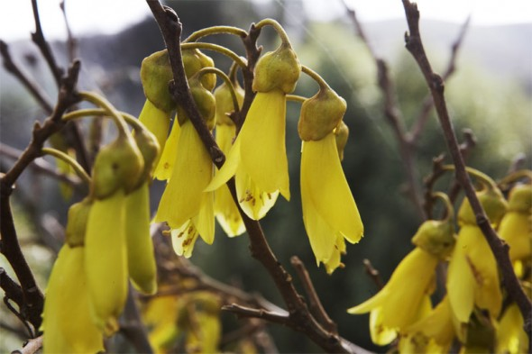 The Kowhai flowers used for inspiration by Lia. Photographer: Te Papa, © Te Papa