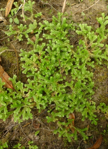 Caption: Selaginella kraussiana is indigenous to Africa, but has become a widespread weed in New Zealand. It is problematic because it can carpet the ground, smothering small native plants and seedlings. Photo Leon Perrie. © Te Papa.