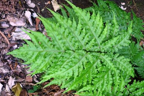 Tectaria latifolia from Fiji. Photo Leon Perrie. © Te Papa.