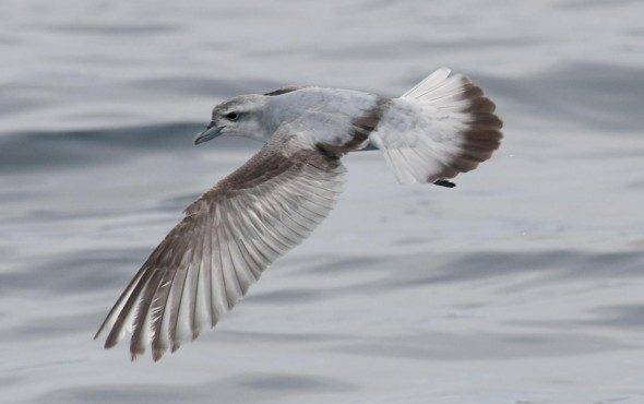 The evolutionary history of prions is poorly understood but prions have been riding the winds of the southern oceans for at least the last 4 million years.  Photo: Fairy Prion, Philip Griffin, NZ Birds Online