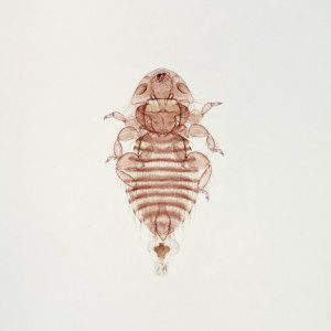 Giant body louse (male)