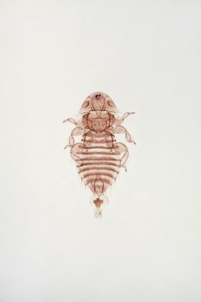 Giant body louse (male)