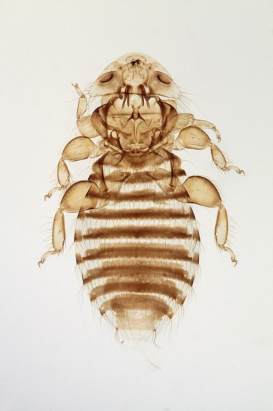 Giant Body Louse (female)