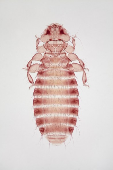 Small body louse (female)