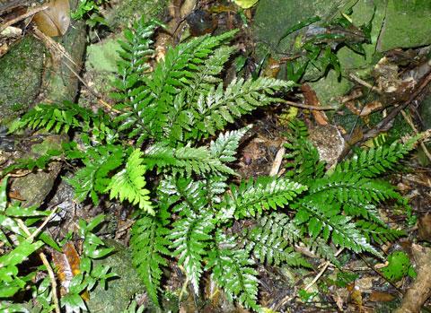 Asplenium lamprophyllum, near Ngauranga Gorge in Wellington. Photo © Leon Perrie.