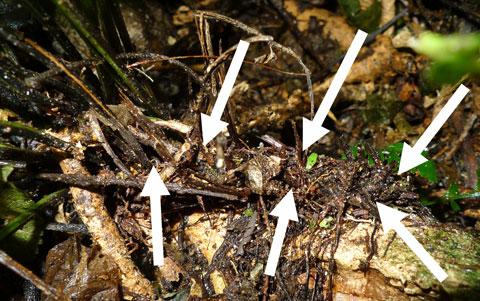 Asplenium_lamprophyllum_2_Ngauranga4_reduced
