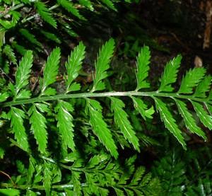 Asplenium lamprophyllum. Photo © Leon Perrie.