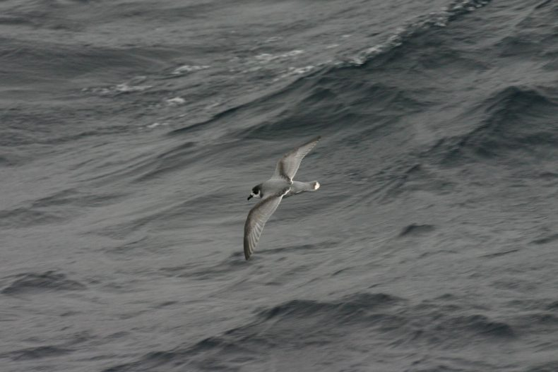 The blue petrel is a close relative of prions but unlike prions it has a long narrow beak and a white, rather than black tip to its tail. Photo: South Atlantic, David Boyle, NZ Birds Online