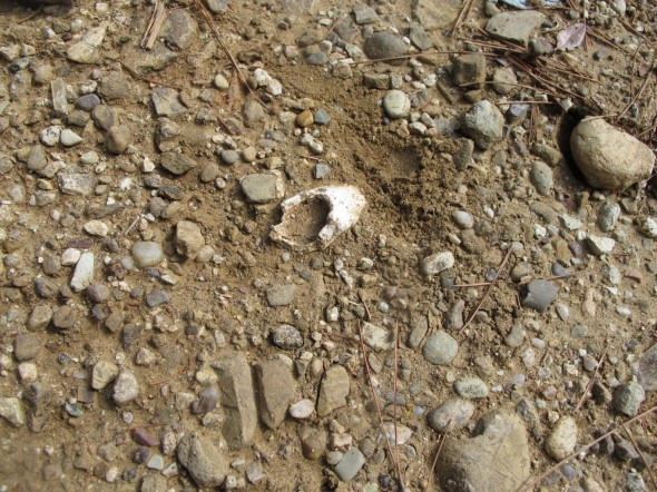 Bone poking out of the ground near Chunuk Bair, probably uncovered by recent heavy rain. It was covered up again by our party. Photograph by Puawai Cairns, copyright Te Papa 2013